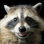 avatar Raccoon
