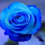 avatar RoseGul