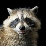 avatar A Tired Raccoon